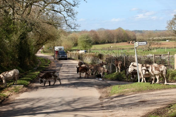 Donkeys on road