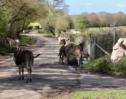 Donkeys on road