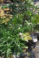 Tulipa saxatilis 'Lilac Wonder'