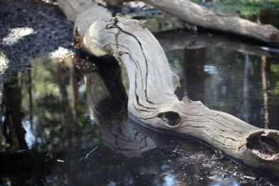 Fallen tree reflection
