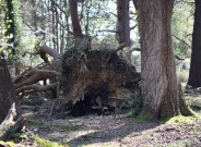 Fallen tree stump