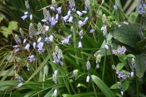 Bluebells and pulmonaria