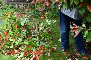Jackie pruning photinia