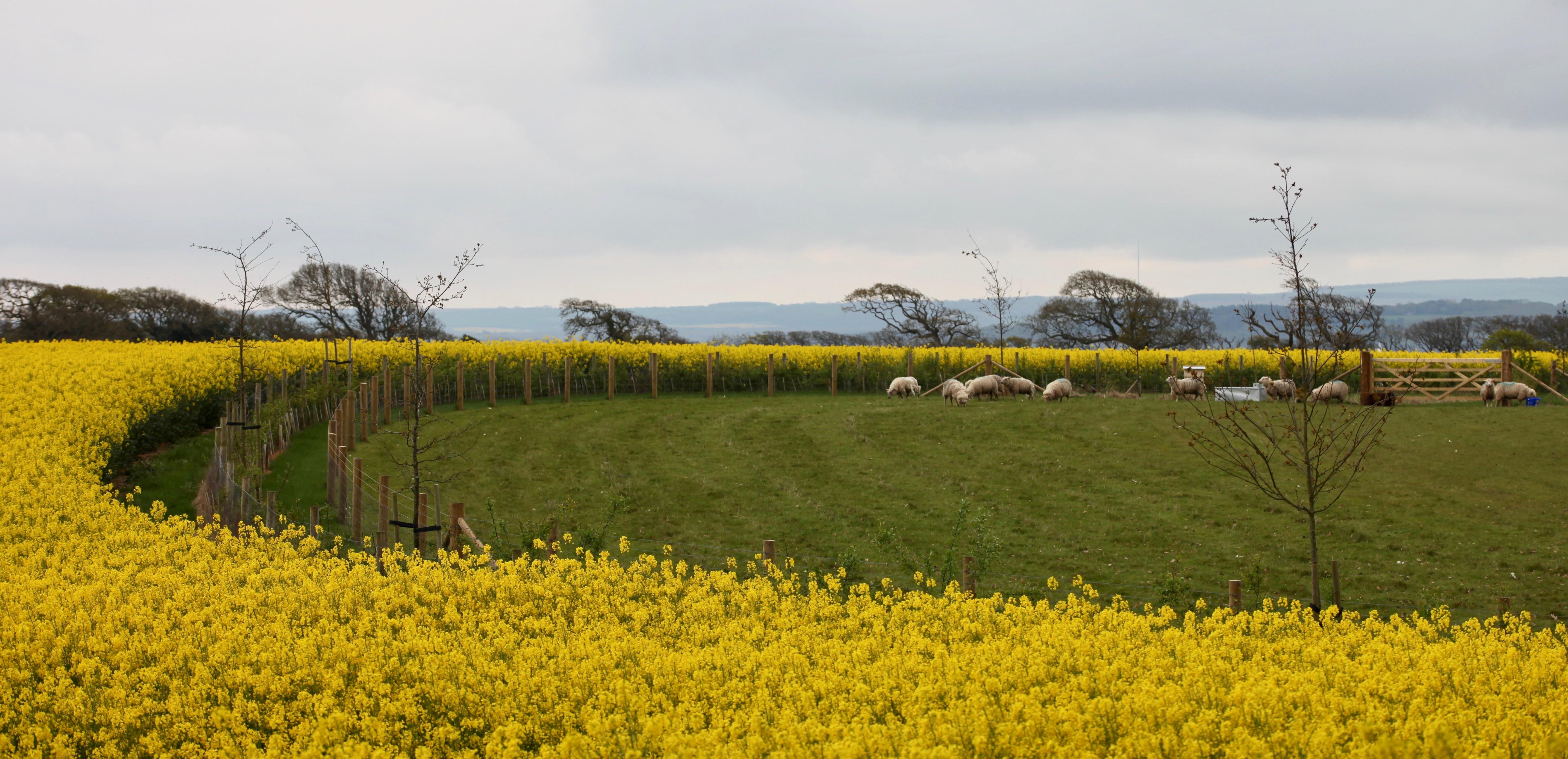 Rape field, sheep, Isle of Wight