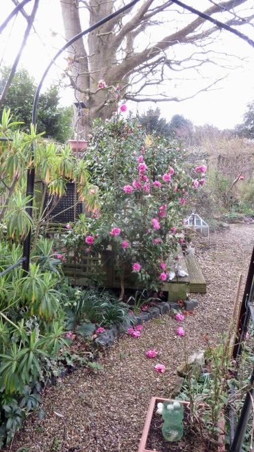 Magnolias along Shady Path