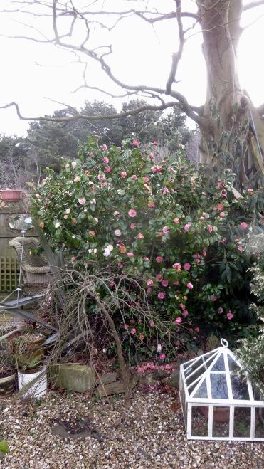 Magnolias beside decking