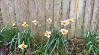 Daffodils along Back Drive