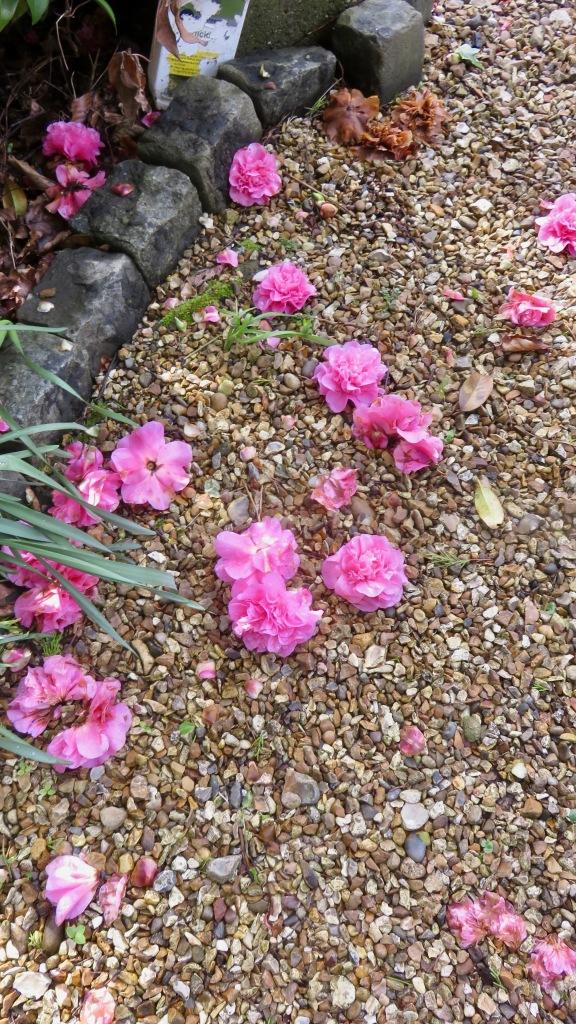 Camellia blooms fallen
