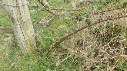 Brambles and barbed wire
