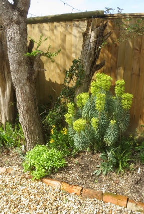 Euphorbia and wallflowers