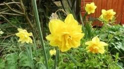 Fly on daffodil
