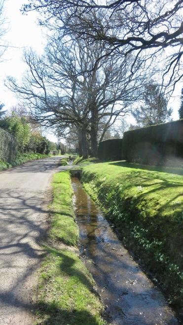 Primroses on bank of stream