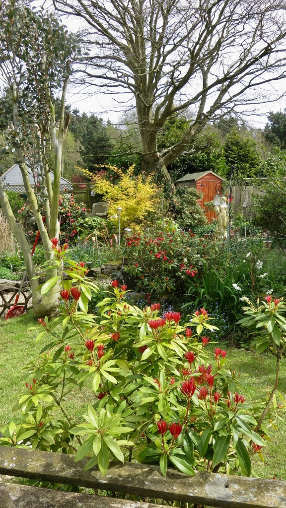 Pieris, rhododendron and view across lawn