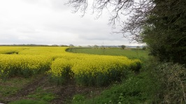 Rape field, sheep, Isle of Wight