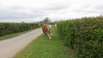 Cattle on verges