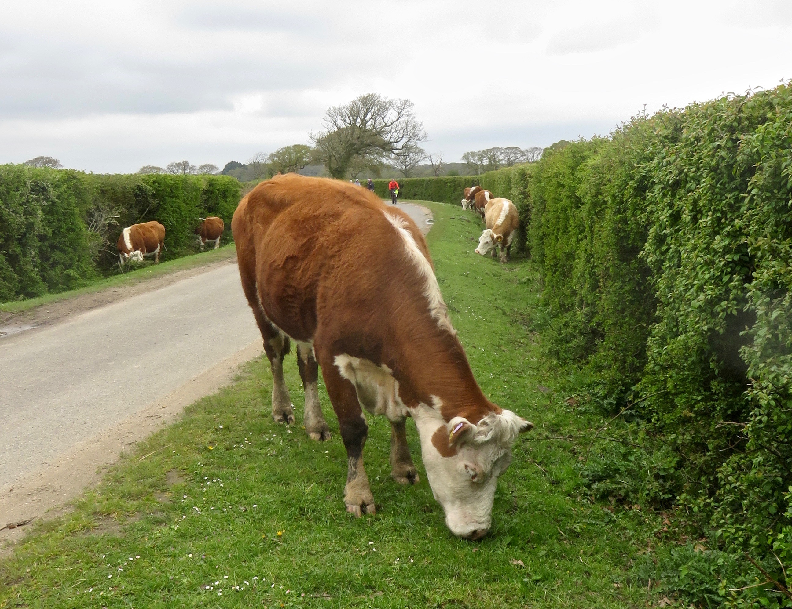 Cattle on verges, cyclists