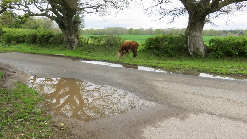 Cow, pools, reflections