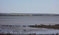 Egret, rape fields on Isle of Wight