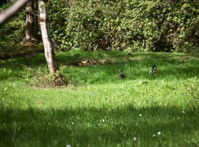 Mallards in grass