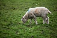 Lamb lame
