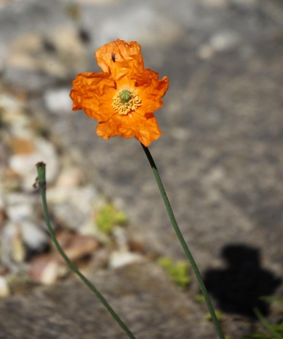 Fly on poppy