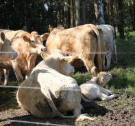 Cows and calf