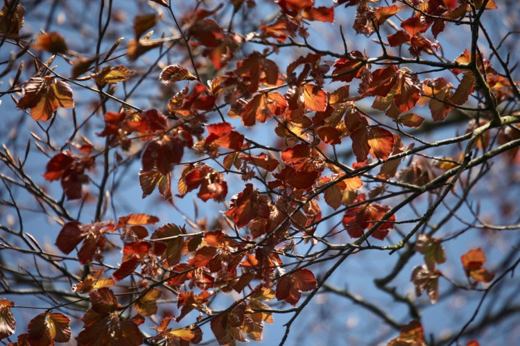 Copper beach leaves