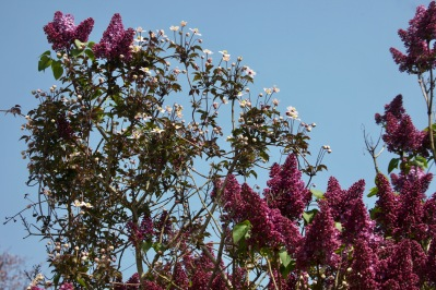 Lilac and clematis Montana