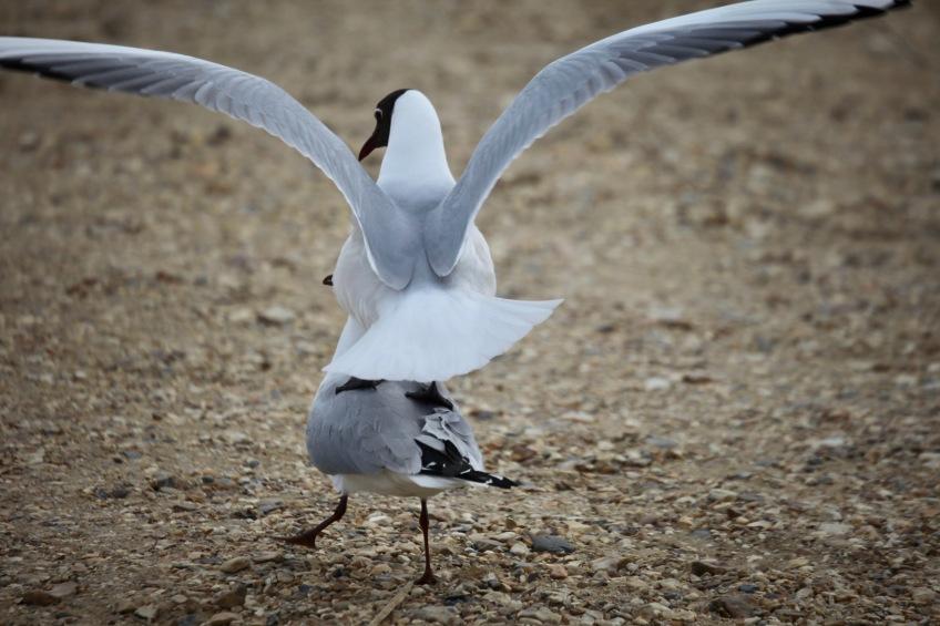 Black headed gulls mating