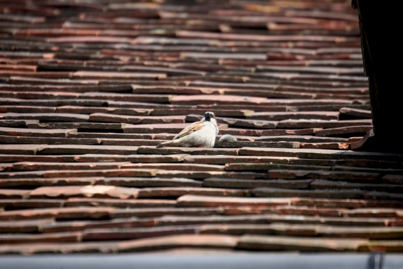 Sparrow on roof