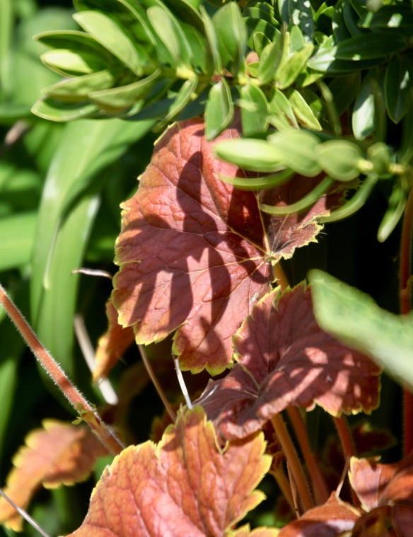 Shadow on heuchera