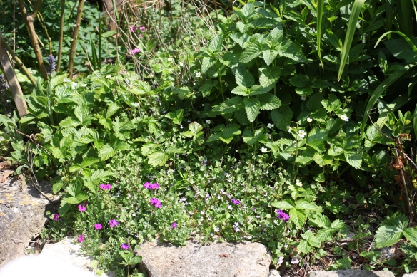 aubretia and wild strawberries