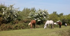 Ponies and May blossom