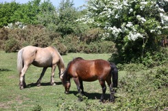 Ponies, May blossom