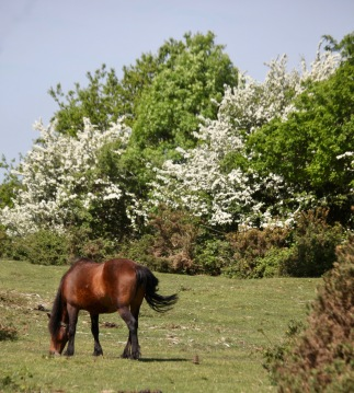 Pony, May blossom