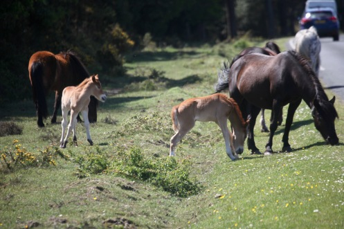 Ponies and foals