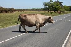 Bull on road