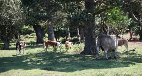 Cattle with calves