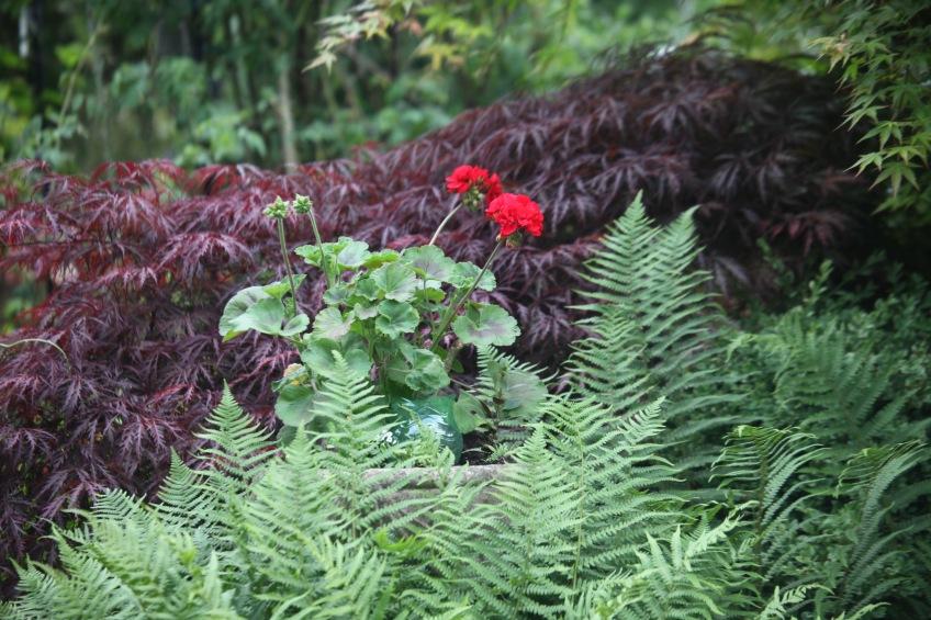 Ferns, geranium