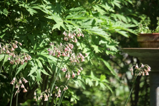 Nectaroscardum