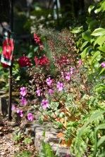 Heucheras and geranium palmatums