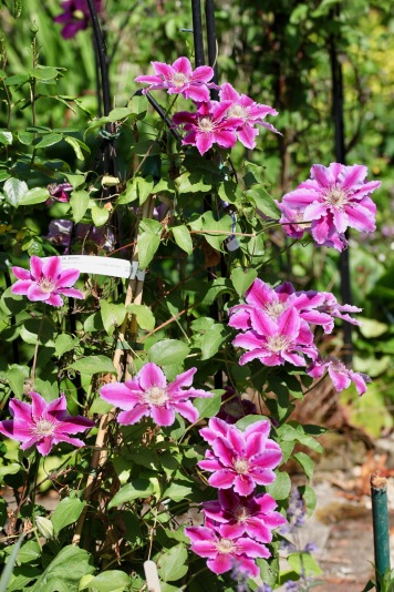 Clematis Doctor Ruppel (Star of India in background)