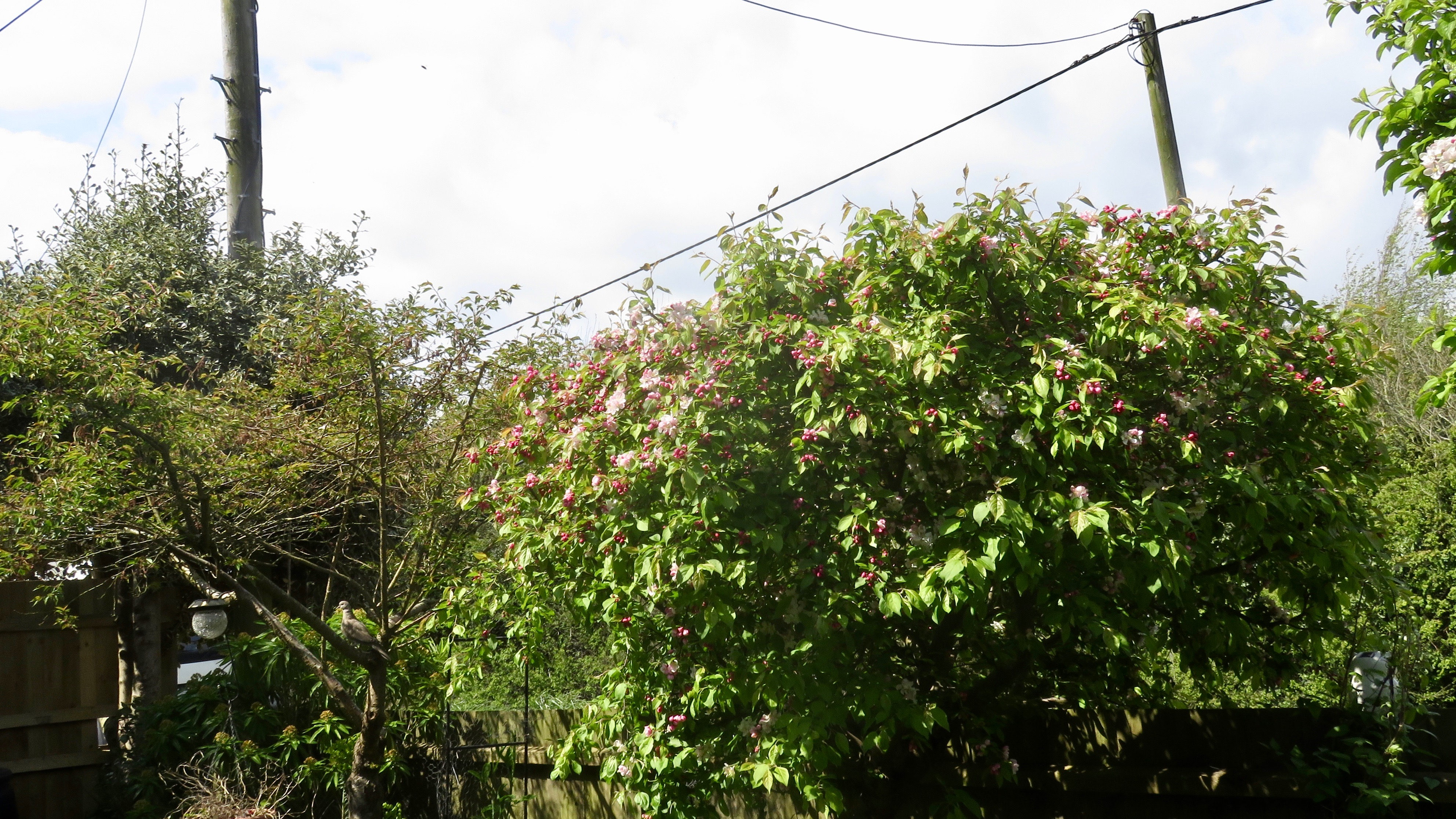 Crab apple blossom and pigeon