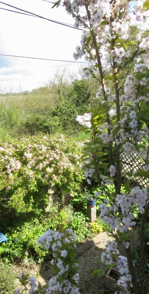 Prunus Amanogawa and crab apple blossoms