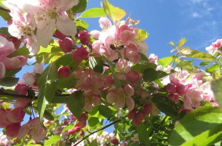 Bee on crab apple blossom