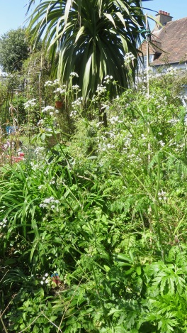 Cow parsley in Palm Bed