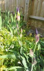 Iris buds