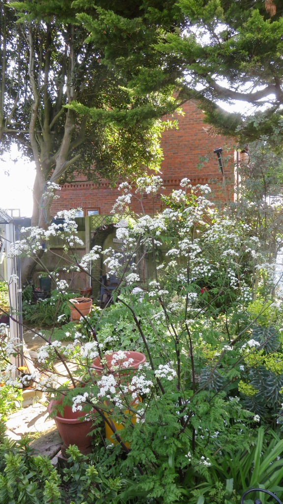 Cow parsley in Dragon Bed