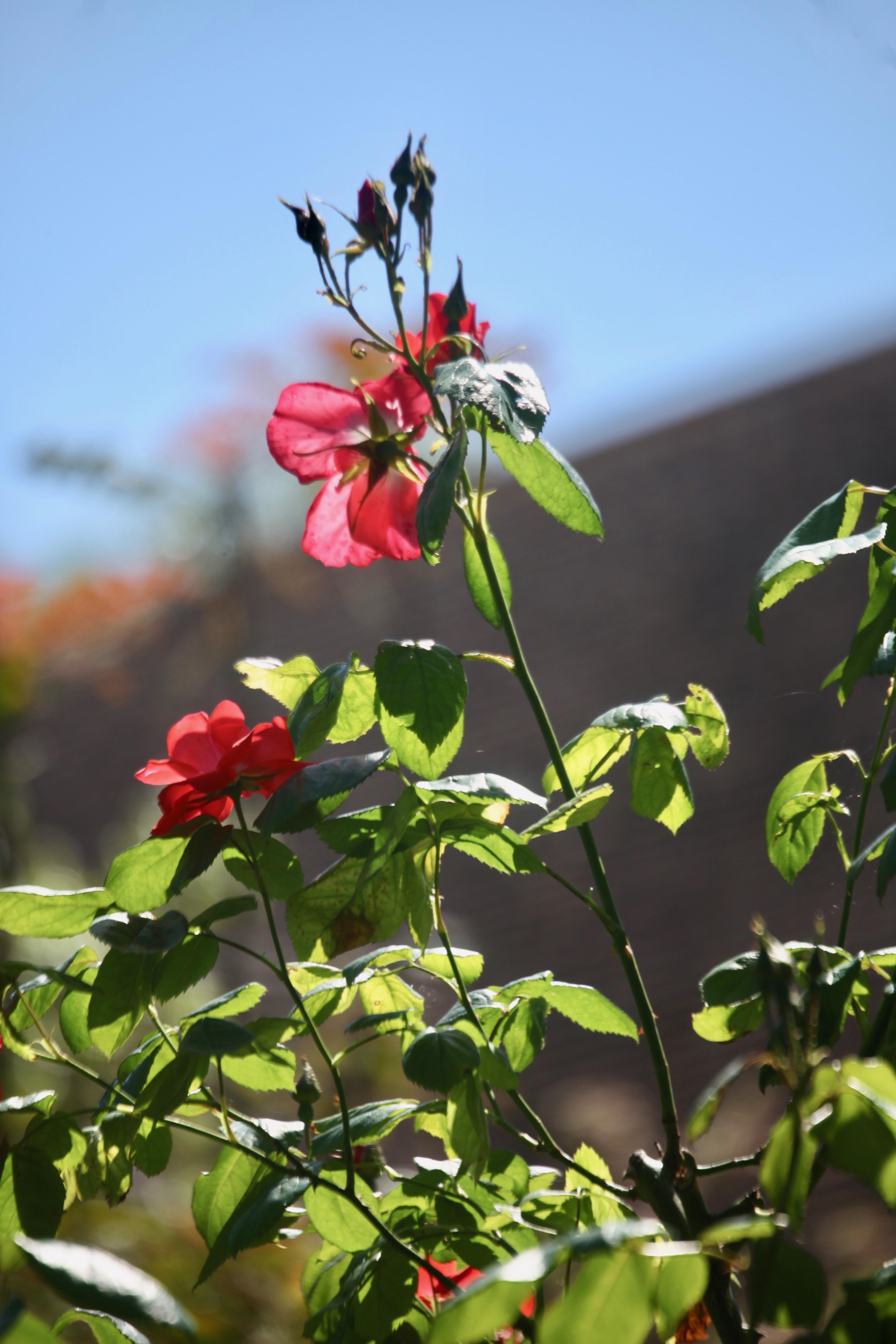 Rose red climber