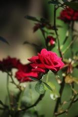 Rose Love Knot